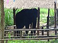 Pachyderm at Thai Elephant Conservation Center - Hang Chat - Thailand - 01 (34406516723).jpg