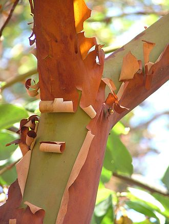 Arbutus menziesii - The peeling red papery bark is distinctive