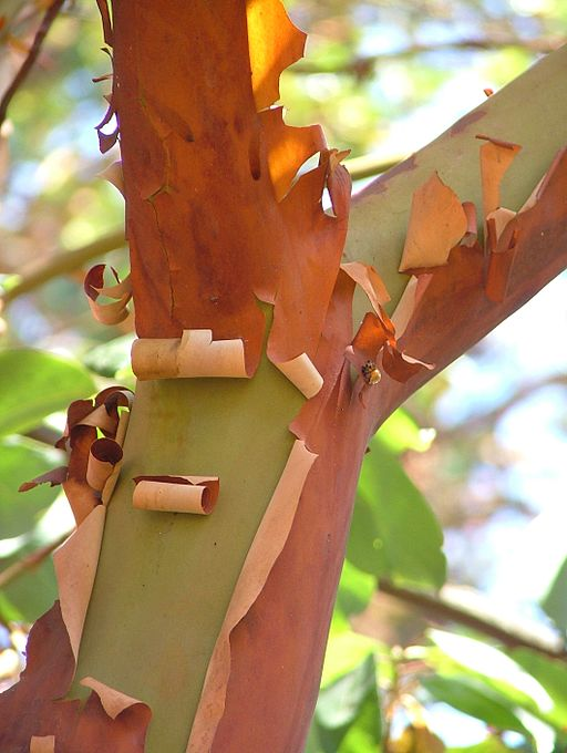 Pacific Madrone Arbutus menziesii Branch Fork 2120px
