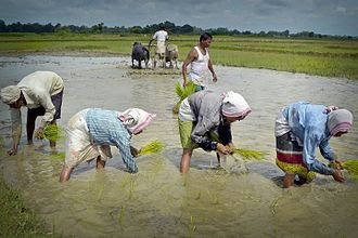 Assamese women busy planting paddy seedlings in their agricultural field in Pahukata village in the Nagaon district of Assam Paddy cultivation in Nagaon.jpg
