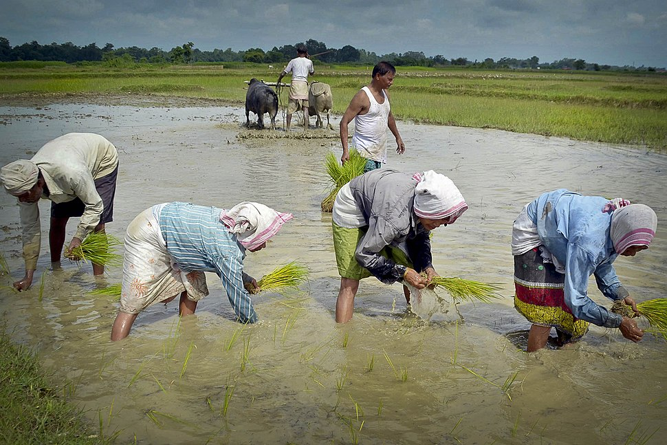 Paddy cultivation in Nagaon