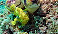 Painted Frogfish (Antennarius pictus) (8502242059).jpg