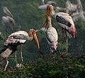 Painted Stork (Mycteria leucocephala) in Uppalpadu, AP W IMG 3314.jpg
