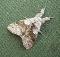 Pale Tussock. Calliteara pudibunda. Lymantriidae - Flickr - gailhampshire.jpg
