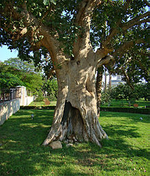 Photo of the actual Sycamore fig tree in Jericho today.