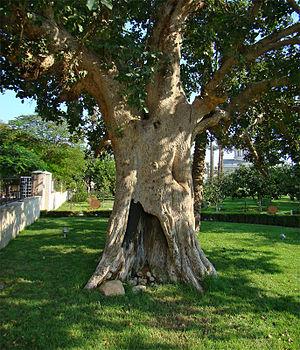 Zacchaeus -  Zacchaeus' sycamore fig in Jericho