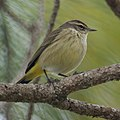 Palm Warbler (4342541072).jpg