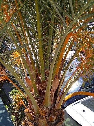 The orange fruit on a palm tree.