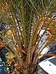 Palmo tree.jpg