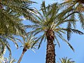 Palmiers d'alicante - panoramio (1).jpg