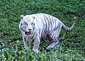 Pana'ewa Rainforest Zoo--Namaste the White Tiger 16 (4471617177).jpg