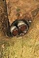 Panamanian night monkey (Aotus zonalis).jpg