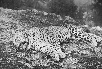The Panar Leopard, shot by Jim Corbett in 1910 after allegedly killing more than 400 people PanarManeater.jpg