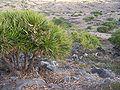 Pandanus heterocarpus 04.jpg