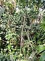 Pandanus pristis - Botanischer Garten München-Nymphenburg - DSC07987.JPG
