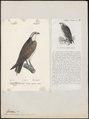 Pandion haliaëtus - 1700-1880 - Print - Iconographia Zoologica - Special Collections University of Amsterdam - UBA01 IZ18100271.tif