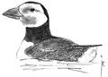 Papegaaiduiker Fratercula arctica Jos Zwarts 1.tif