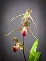 Paphiopedilum rothschildianum (38895499920).jpg