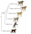 Papio phylogeny (ita).png