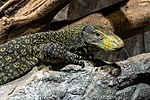 Papuawaran Varanus salvadorii-7843.jpg