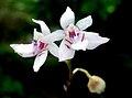 Paradisanthus bahiensis - Flickr. 003.jpg