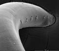 Parasite180153-fig6 Thelazia callipaeda (Nematoda).png