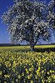 Parcelle de colza au printemps Ile de France-4-cliche Jean Weber-1 (23566473052).jpg