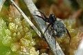 Pardosa.sphagnicola.with.young.jpg