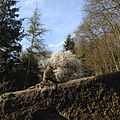 Park Villa Haas junge Himalaya Zeder neben Kriechen-Pflaume.jpg