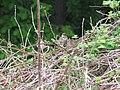 Passer montanus - poljski vrabac1.jpg
