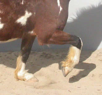 Limbs of the horse - The pastern absorbing shock