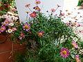 Patios of Cordoba - flowers 3.JPG