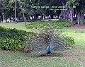 Pavão no Campo de Santana.jpg