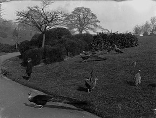 Peacocks in Belle Vue Park, Newport