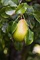 Pear on Tree 1.jpg