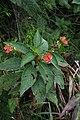 Pearcea reticulata = Kohleria reticulata (Gesneriaceae) (29057195264).jpg