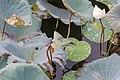 Pearl effect of lotus flowers (39513628762).jpg