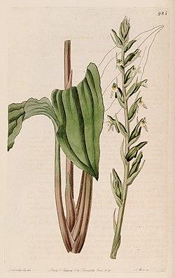 "Pelexia adnata, Illustration aus ""The Botanical Register"""