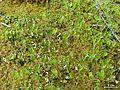 Peltigera aphthosa - Flickr - pellaea.jpg