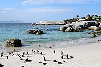 Penguins at Boulders Beach, Cape Town (15).jpg