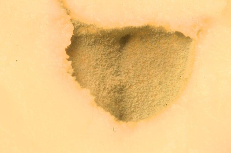 File:Penicillium roqueforti. makro. I.JPG