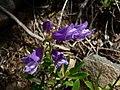 Penstemon fruticosus 15603.JPG