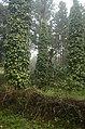 Pepper plantation Kolli hills JEG3046.jpg