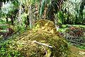 Perkebunan kelapa sawit milik rakyat (49).JPG