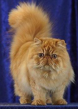 Fotoalbum » Perská kočka činčila » Perská kočka činčila » kočky.
