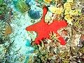 Petricia vernicina Cushion star P1021135.JPG