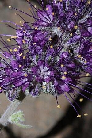 Phacelia sericea - P. sericea ssp. sericea flower