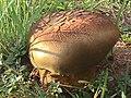Phaeogyroporus sudanicus (Har. & Pat.) Singer 326893.jpg
