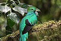 Pharomachrus mocinno Monteverde 09.jpg