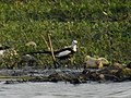 Pheasant-tailed Jacana DSCN1937.jpg